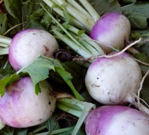 img_20140603_123154-turnips-for-pickles