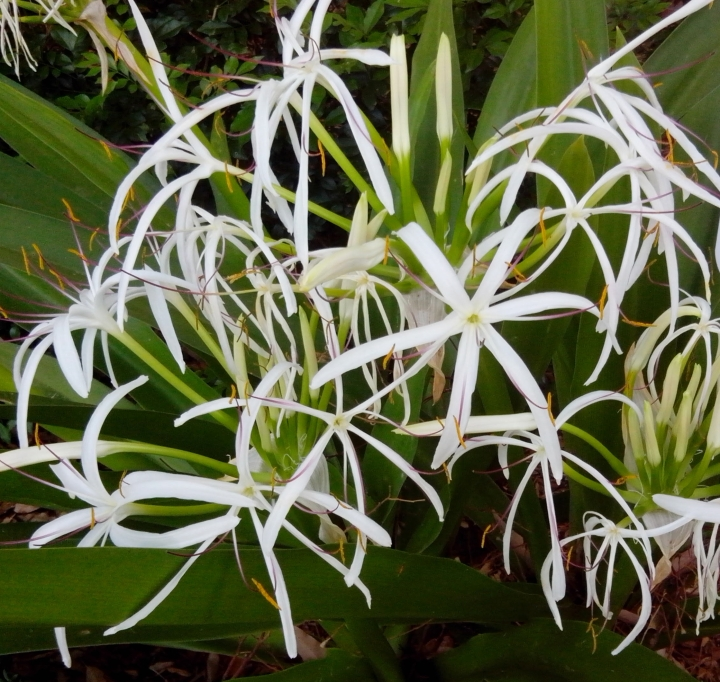 IMG_20141026_084435-Spider Lily