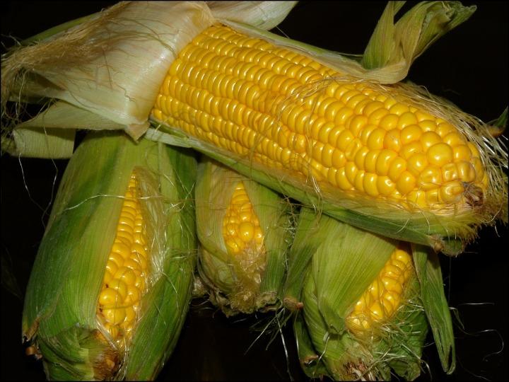 corn-1624308_1920-corn-harvest