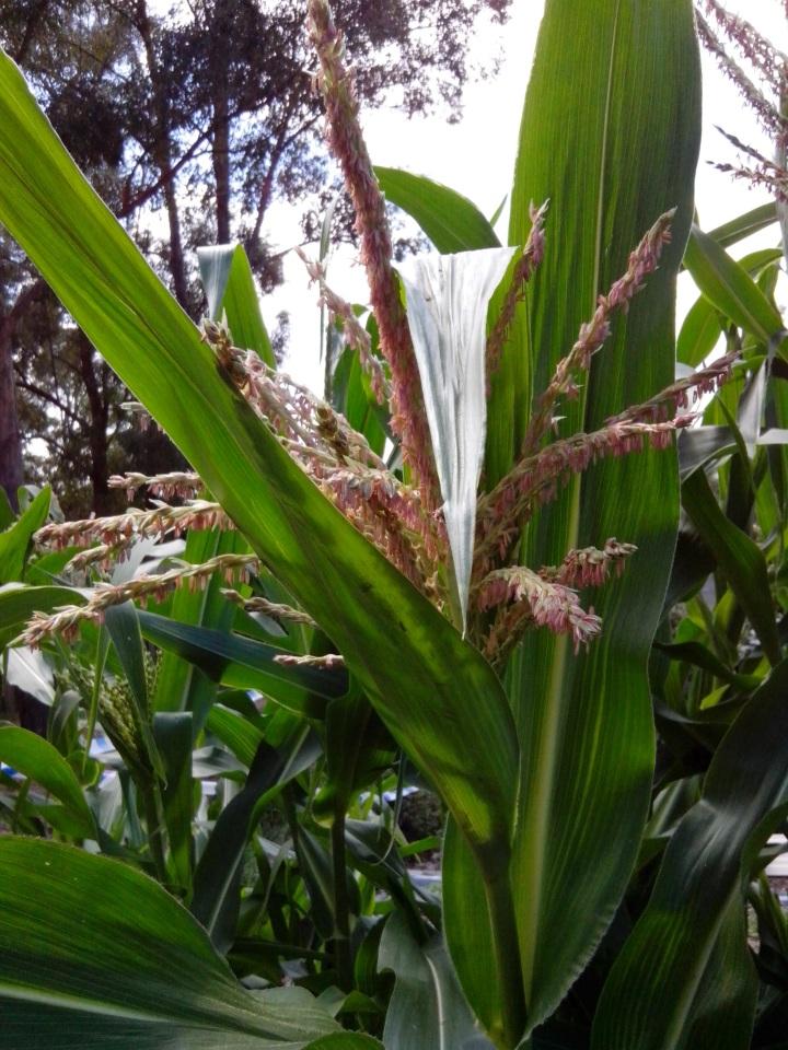 img_20140127_105024-corn-flowers