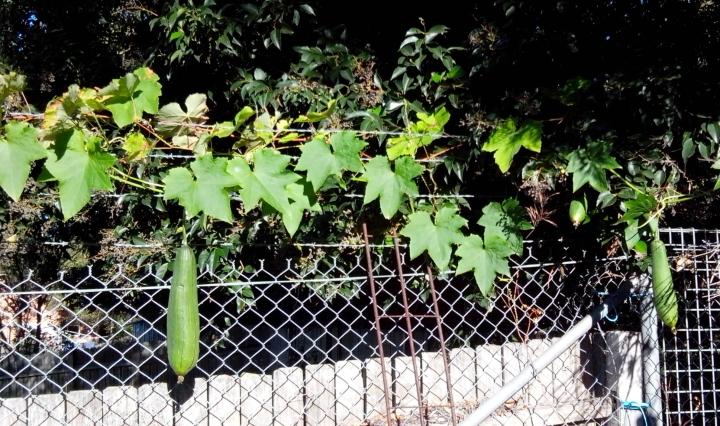 img_20140603_094154-luffa-growing
