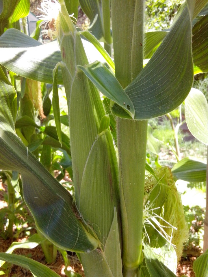img_20151117_121836-corn-cobs-developing