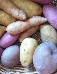img_20160405_112142-multi-coloured-potatoes-2