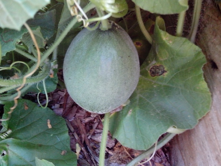 img_20140127_105220-watermelon-1