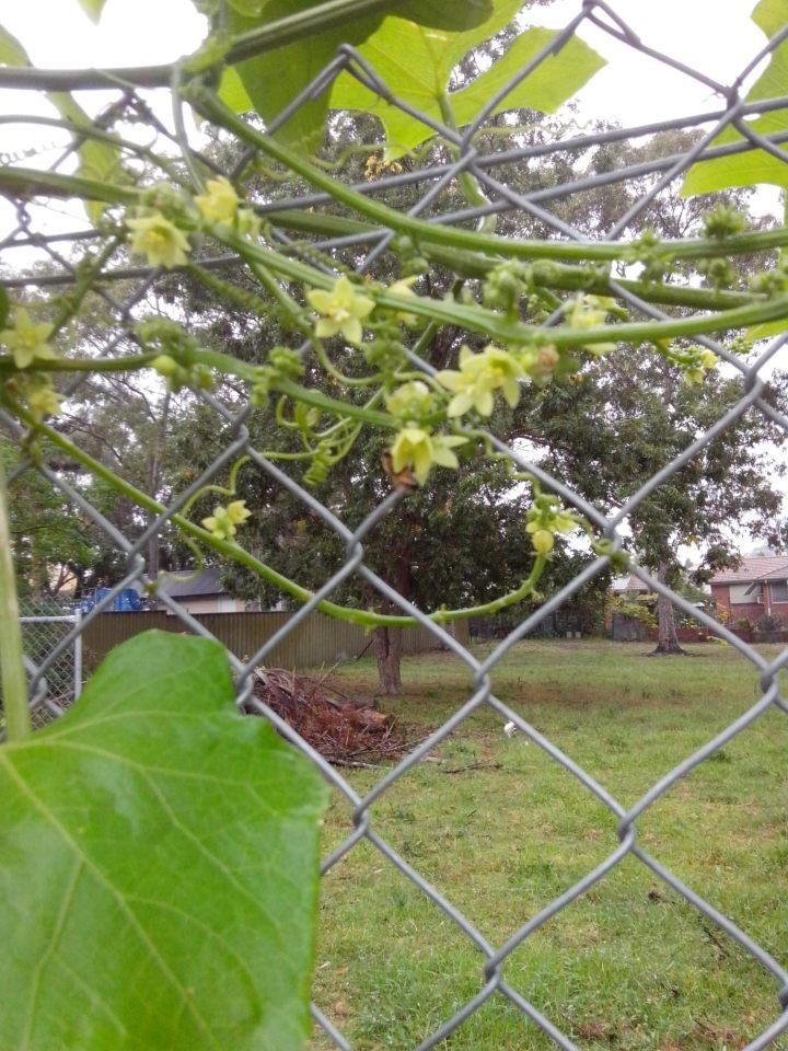 img_20150321_115500-choko-flowers