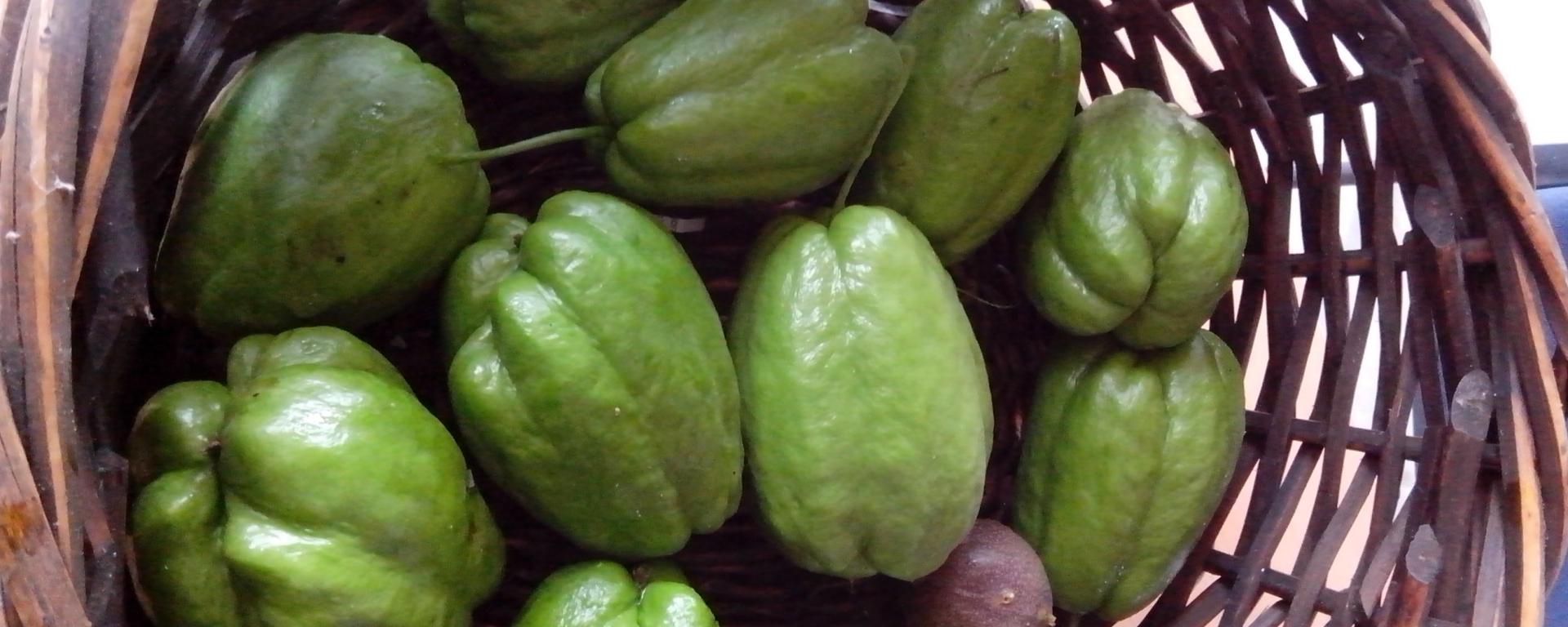 Growing Chokos or Chayotes – The Grantham Gardener