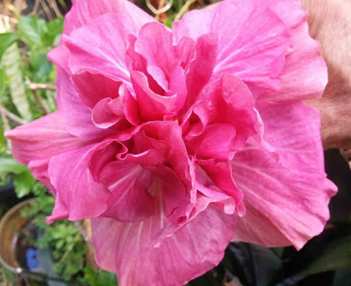 img_20161128_094649-hibiscus-margurite