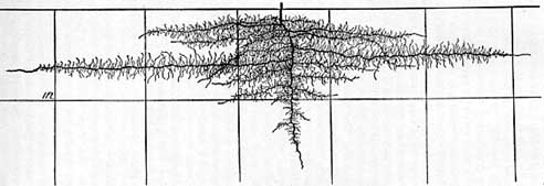 root-system-of-cantaloupe-2