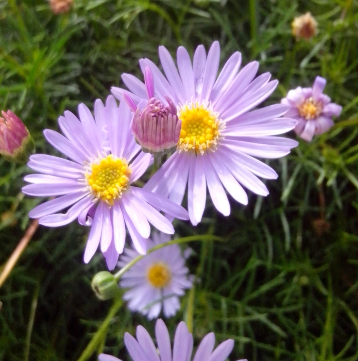 img_20160102_101718-purple-burr-daisy3