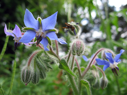 Borage flower star