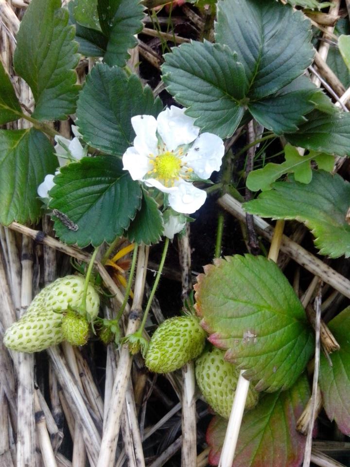 IMG_20140914_163514-Strawberry plant 4