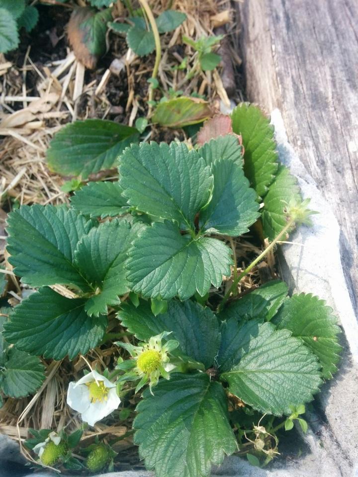IMG_20160820_123503-Strawberryplant 2