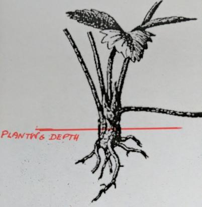 IMG_20170514_121839-Strawberry planting depth