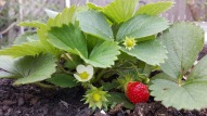strawberry-flower fruit and leaf-985621_1920