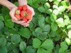 strawberry harvest-197084_1920