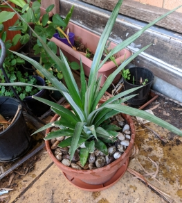 IMG_20180103_113848-Pineapple potted