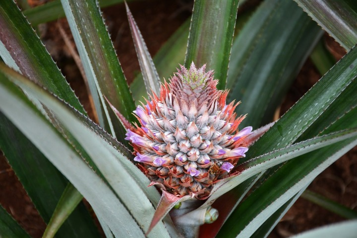 pineapple-plant-Flowers 1047353_1280