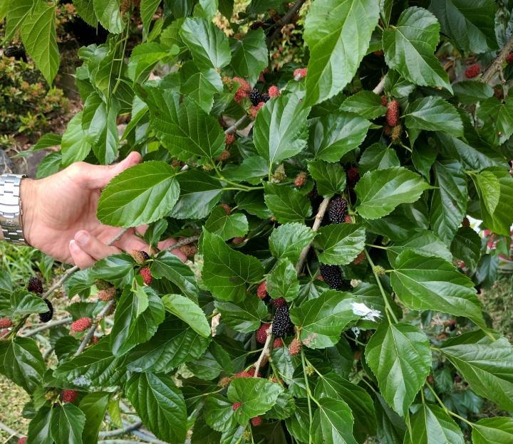 IMG_20171005_174334-Mulberries 2017