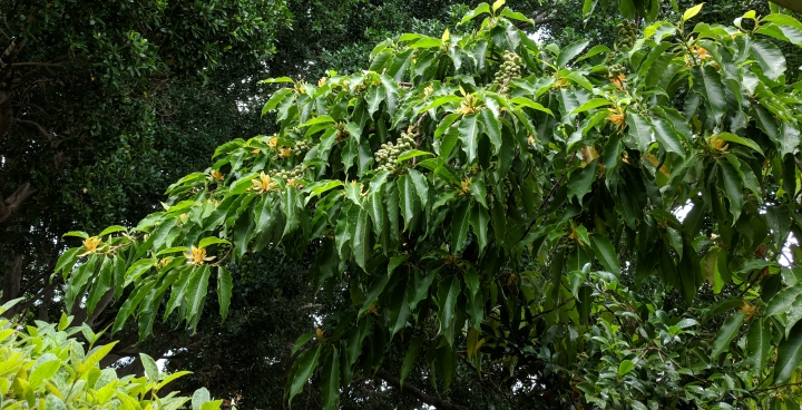 IMG_20171222_105900-Magnolia champaca tree
