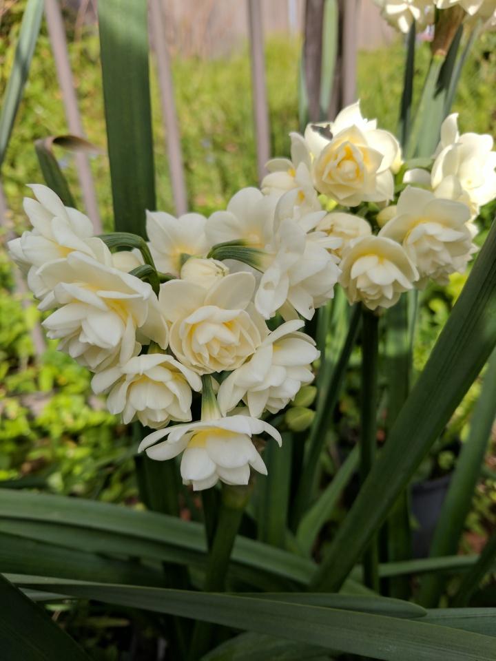 IMG_20170627_110054-Erlicheer daffodils