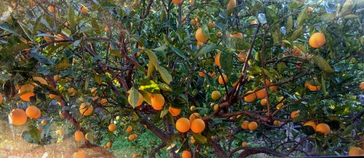 IMG_20180701_162901-Orange tree