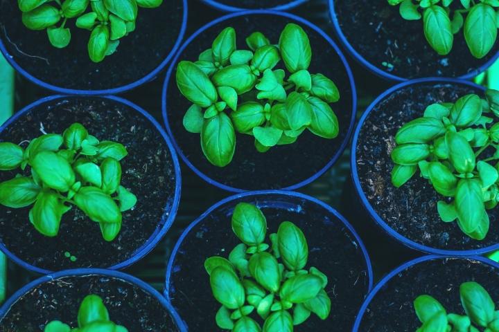 basil-2890741_1920-Basil seedlings