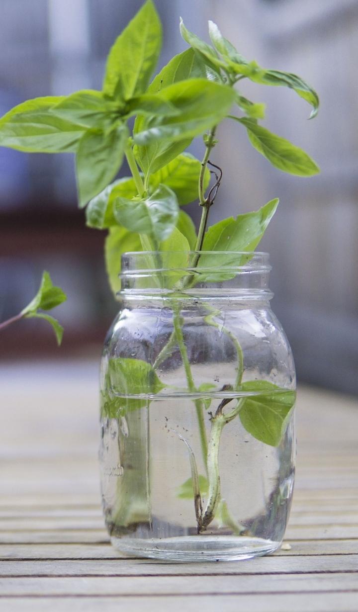 fresh-3574405_1920-Basil propagating