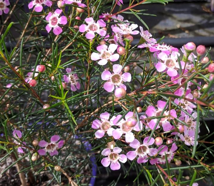 IMG_20180913_114214-Geraldton Wax Flower 3
