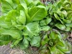 IMG_20170911_110321-Lettuce