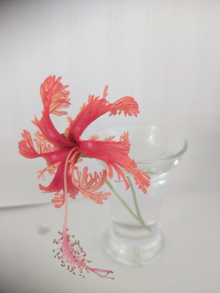 IMG_20190222_165705-Japanese lantern hibiscus