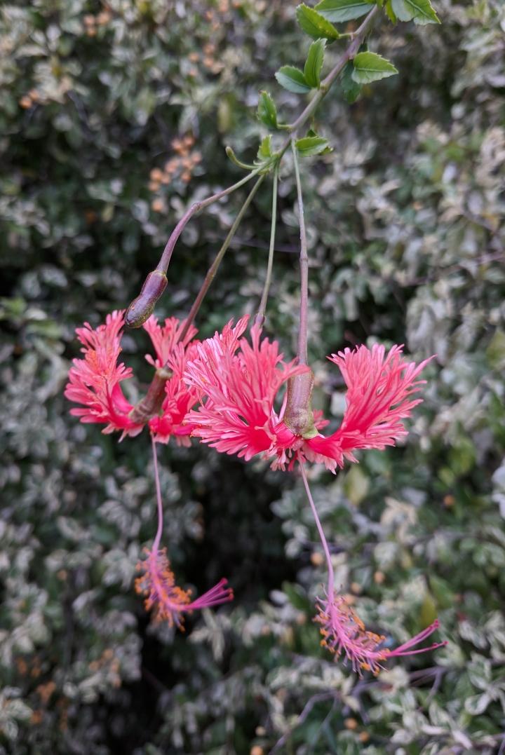 IMG_20190227_164025-Japanese lantern hibiscus
