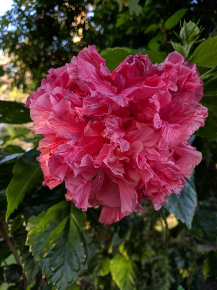 IMG_20190419_163417-Hibiscus rosa sinensis