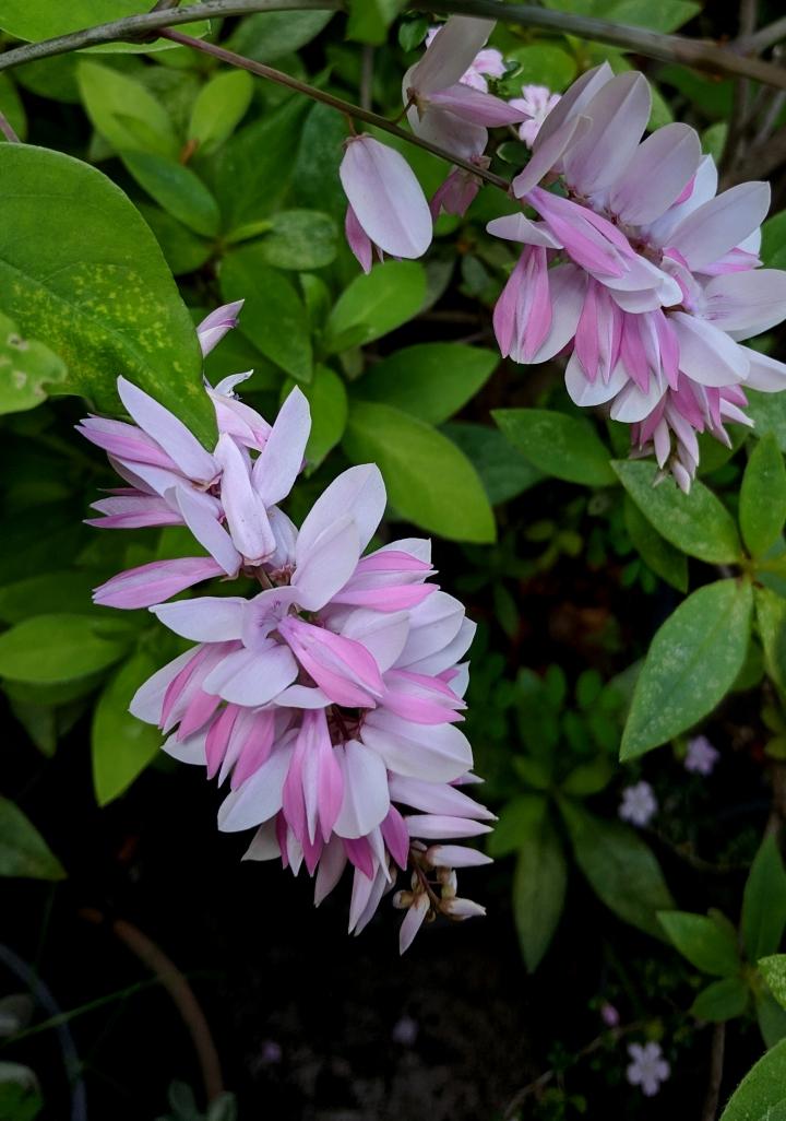 IMG_20181031_170440-Indigo flowers3