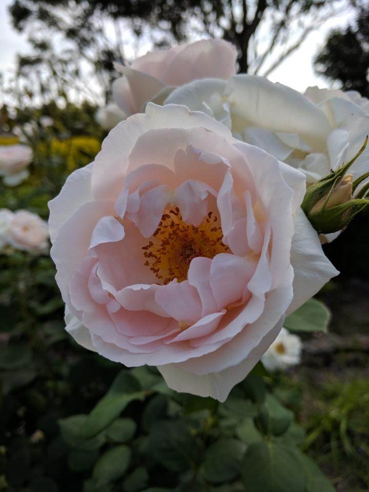 IMG_20181104_163629-Sandra's Rose