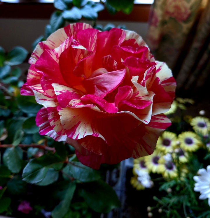 IMG_20191031_173452-Maurice Utrillo rose