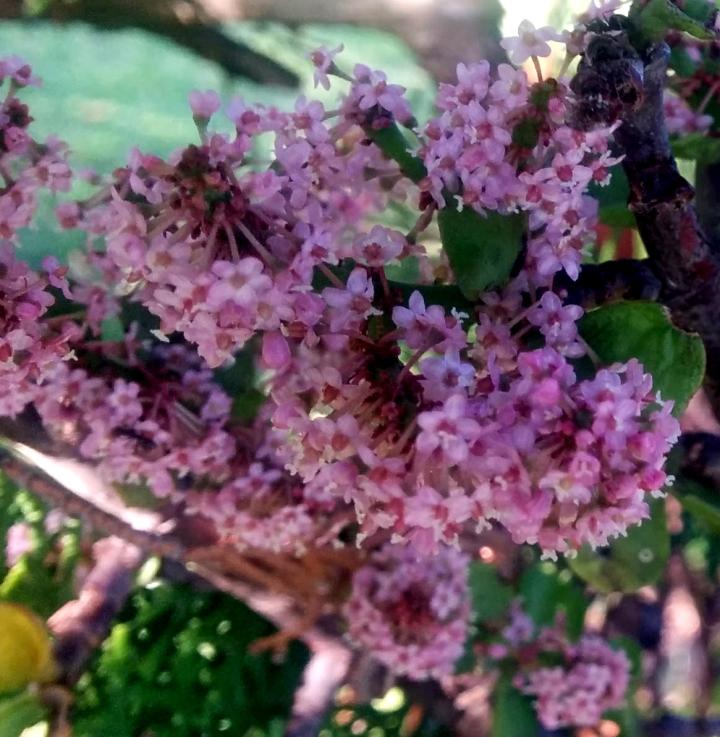 IMG_20161223_182429-Portulacaria Afra Blossoms 3