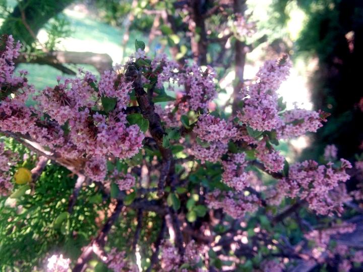 IMG_20161223_182429-Portulacaria Afra Blossoms