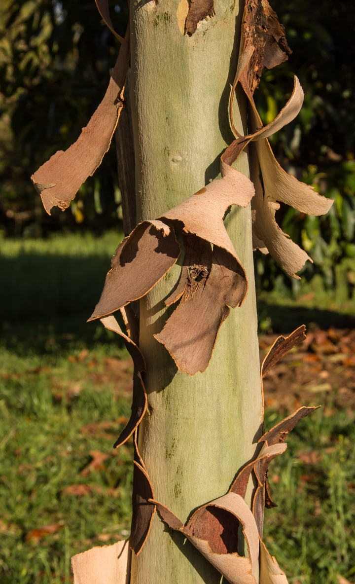 Bark coming off a gumtree