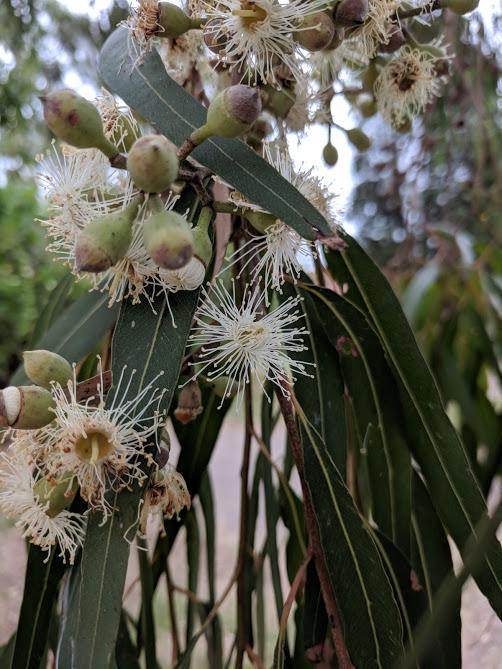 Eucalyptus flowers2