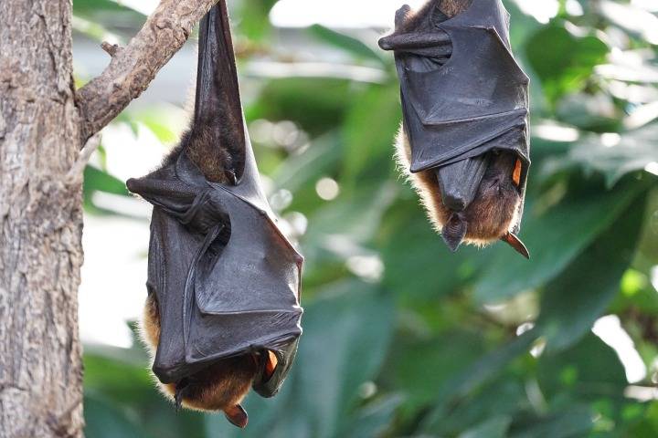 fruit bats-2237209_1920