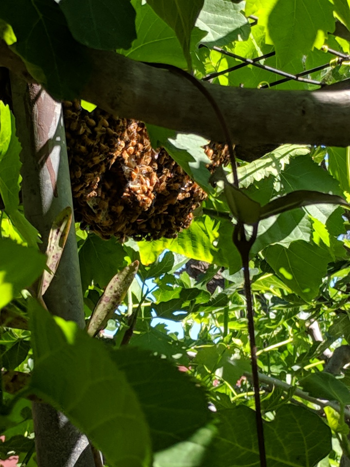 IMG_20181103_095614-Swarm of bees
