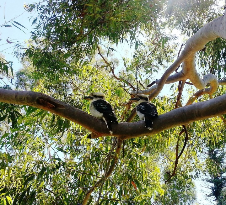 kookaburras-267133_1920