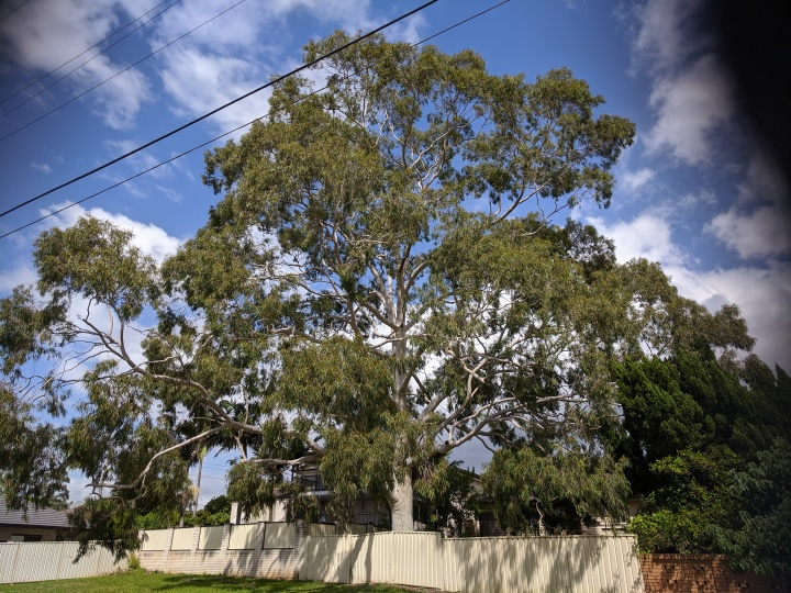 Lemon scented gum2020-03-22