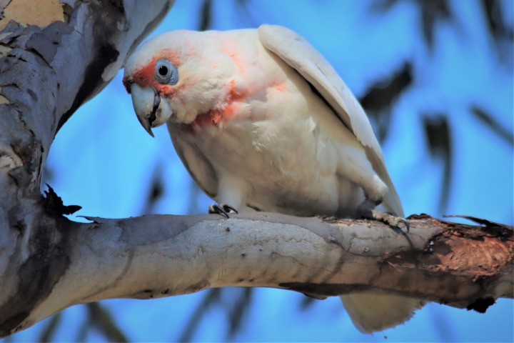 long-billed-corella-4766840_1920