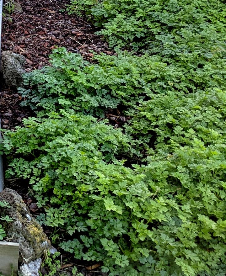 IMG_20190606_154936 (2)-Parsley in the garden