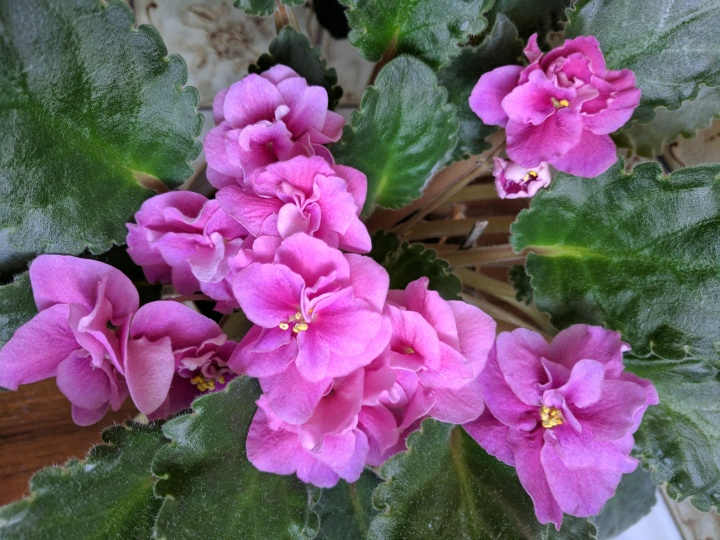 IMG_20170811_104553- double African violet