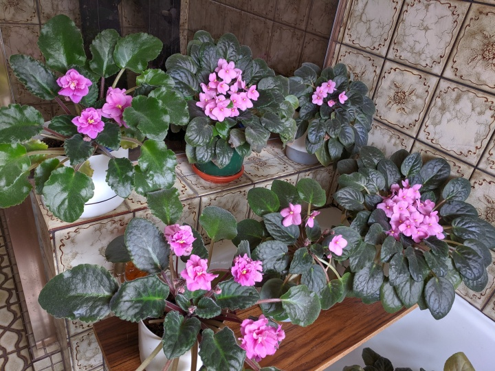 IMG_20191207_094410-African violets in the bathroom