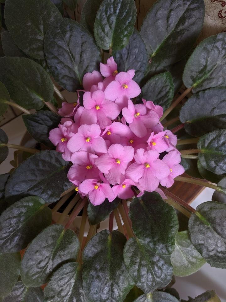 IMG_20191207_094420-Pink African violet