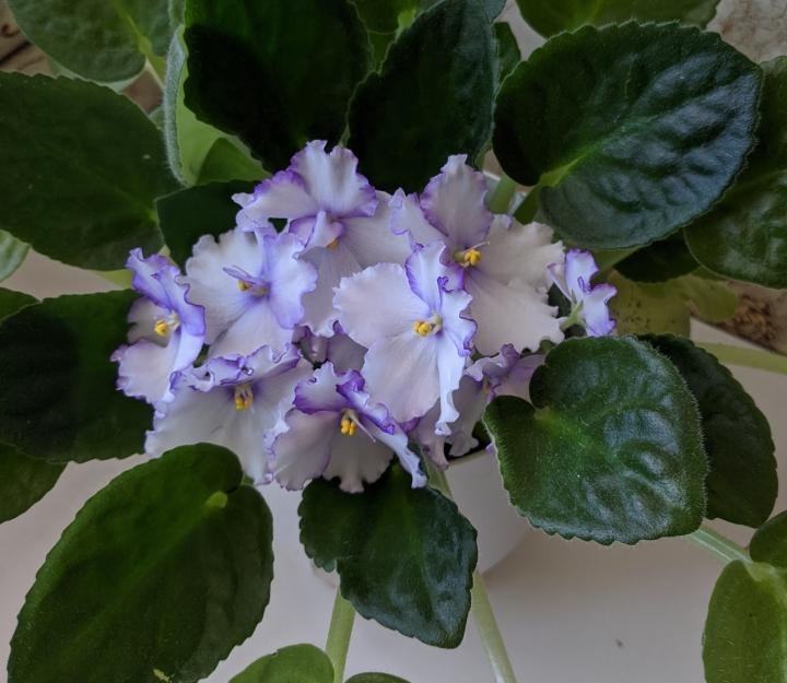 IMG_20201130_160855-African violet 'optimara chico'