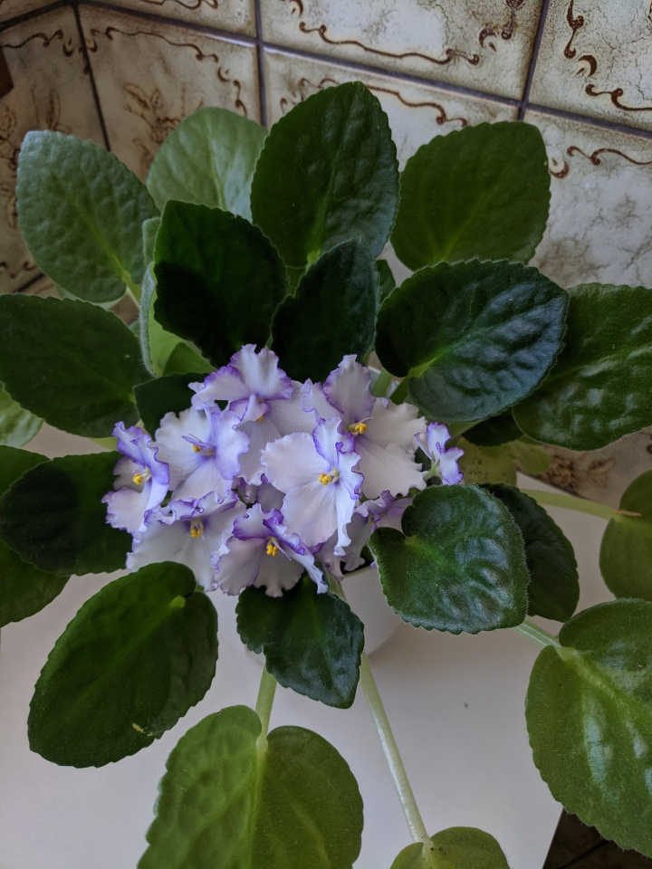 IMG_20201130_160855-African violet purple frill2